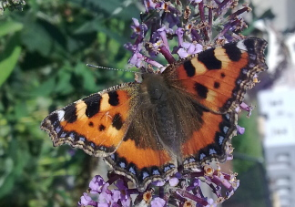 The small tortoiseshell butterfly (Aglais urticae). Butterflies belong to the Order Lepidoptera.