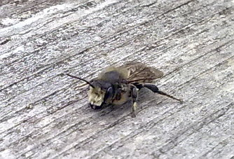 A photograph of a solitary bee.