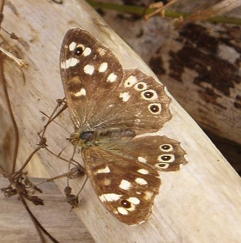 A photograph of a Speckled Wood butterfly (_Pararge aegeria_).