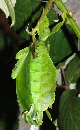 A photograph of mating leaf insects. The spermatophore can be seen as a white ball towards the bottom of the photograph.