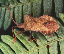 A photograph of an adult Squash Bug (_Coreus marginatus_).