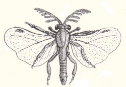 An illustration of a male strepsipteran