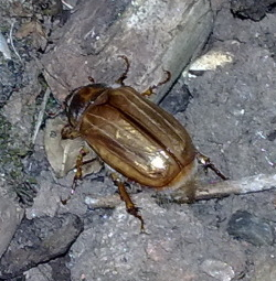 A photograph of a summer chafer (_Amphimallon solstitialis_) showing the elytra