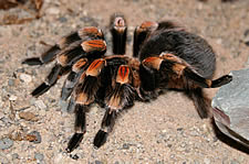 Mexican Red Kneed Tarantula _Brachypelma smithii_