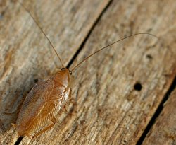 A photograph of the Tawny Cockroach (_Ectobius pallidus_)