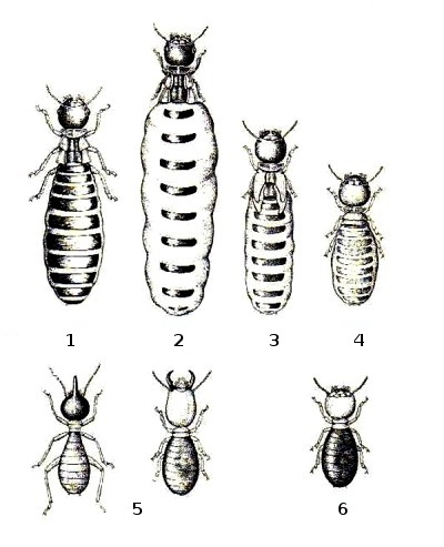 An illustration of the castes within a termite colony