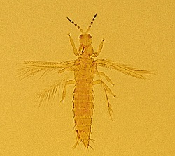 A photograph of an adult thrip _Thrips palmi_.