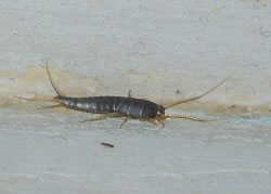 A photograph of a Silverfish (_Lepisma saccharina_).