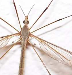 A close-up photograph of a daddy Long legs (tipulid) showing the halteres.