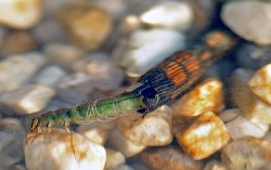A photograph of a caddisfly larvae