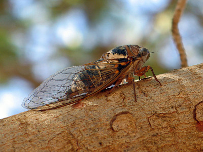 A photograph of an adult cicada.