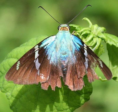 A photograph of an adult Two-barred Flasher butterfly (_Astraptes fulgerator_)