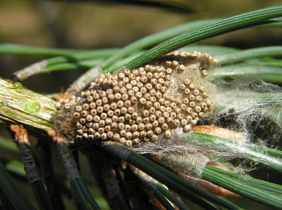 A photograph of eggs of the Vapourer Moth.