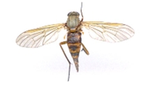 Photograph of a dead fly. How can you identify the insects you find?