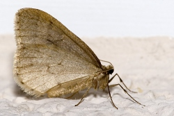 A photograph of the Winter Moth (_Operophtera brumata_).