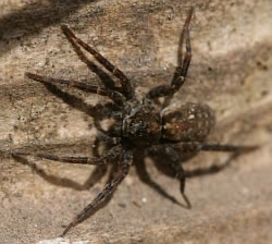A photograph of a Wolf Spider.