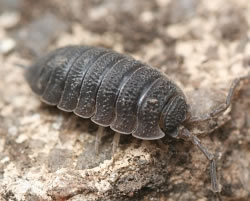 A photograph of the Woodlouse, _Porcellio scaber_.